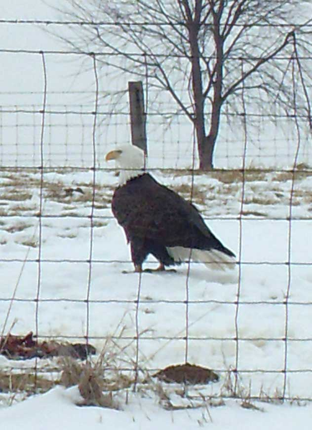 Elmwood eagle