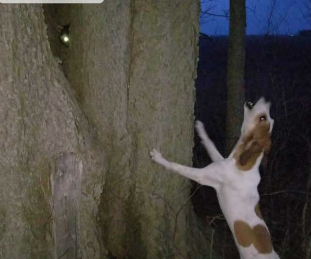 hound raccoon hunting