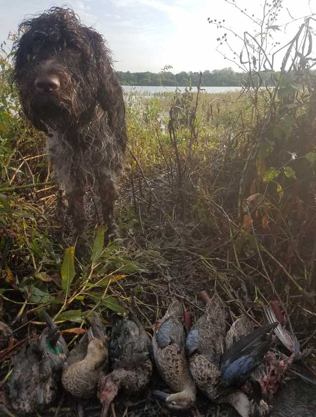 Here is Cooper, Brad Wood's German Wirehaired Pointer, with a limit of early season teal