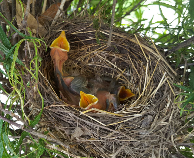 Robins are returning early, but not this early. Penny Sieracki took this picture in June of 2016