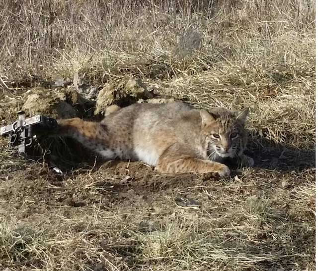 Bob cat spotted at Knox county Illinois